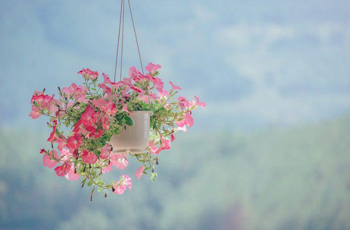 Cum sa cultivi plante curgatoare in casa